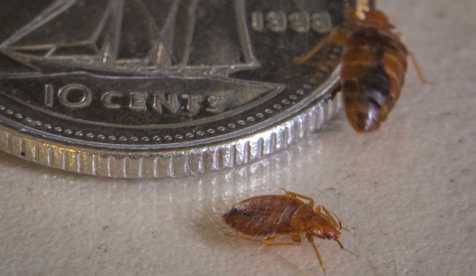 2 adult bed bugs besides a 10 ¢ coin.