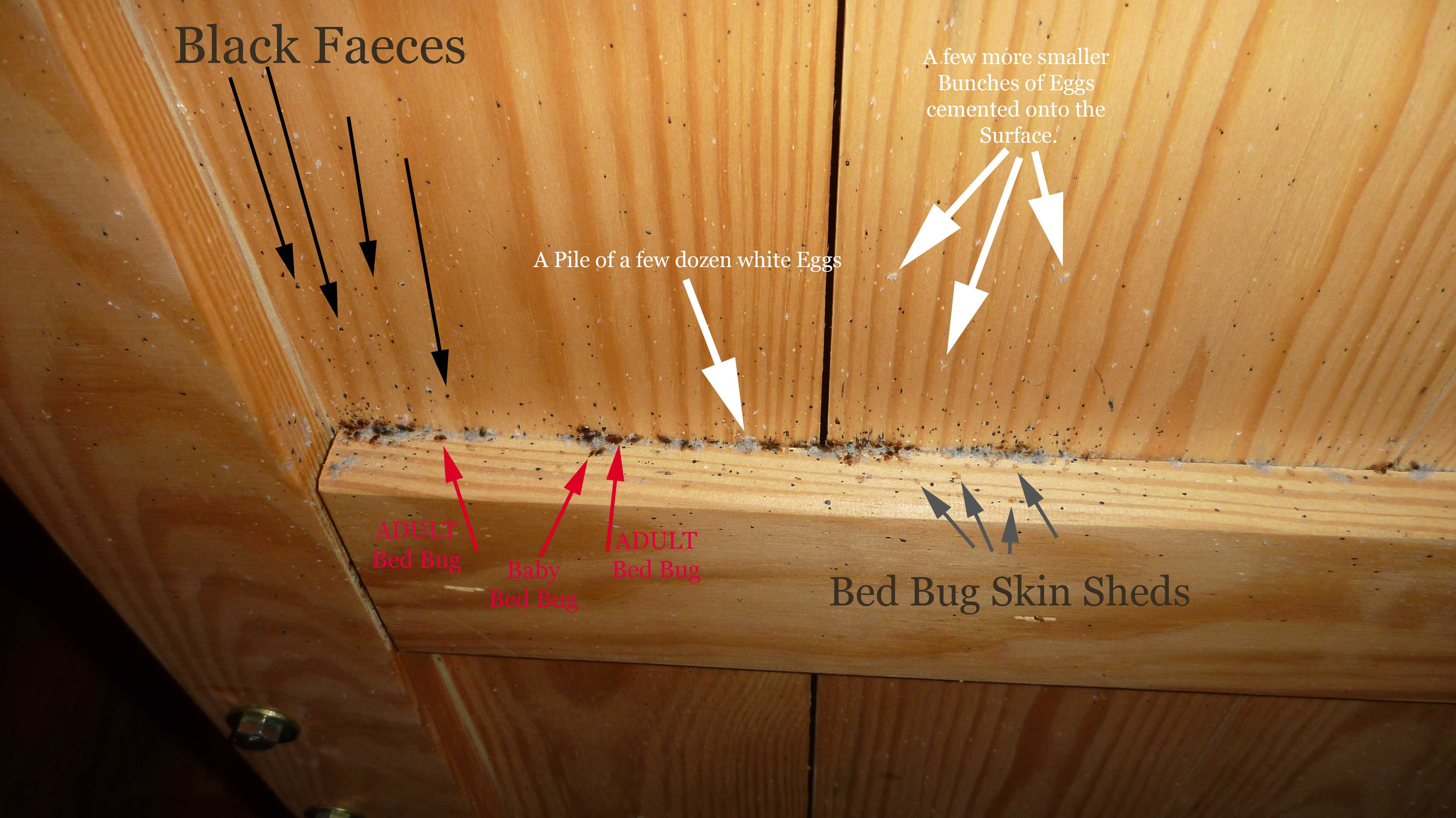 Bed Bug Nests Page 1 Toronto Bed Bug