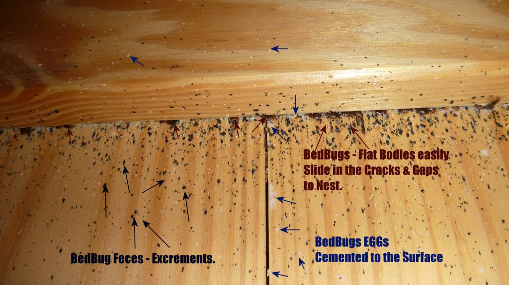 Bed Bugs nesting behind a headboard